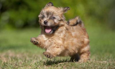 Havanese puppy running